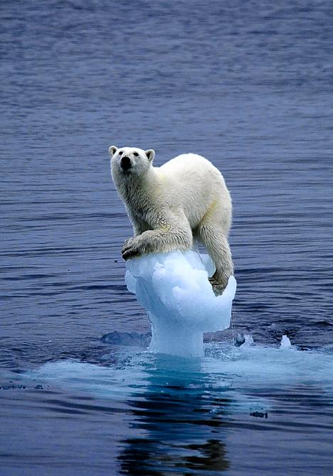 O urso polar o o iceberg desaparecido