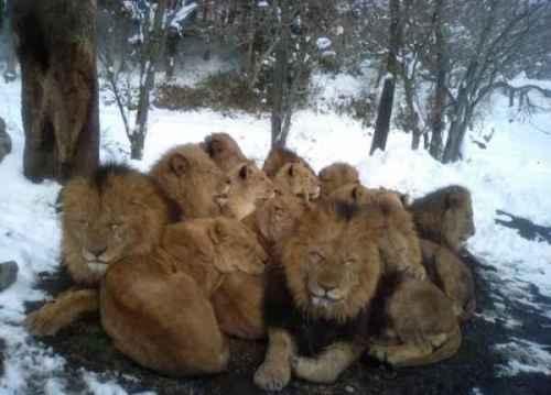 Leões e o aquecimento global