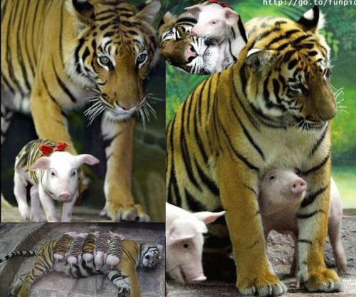 porcquinhos e tigre