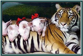 Trigre e os filhotes de porquinho